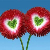 bunga-cinta